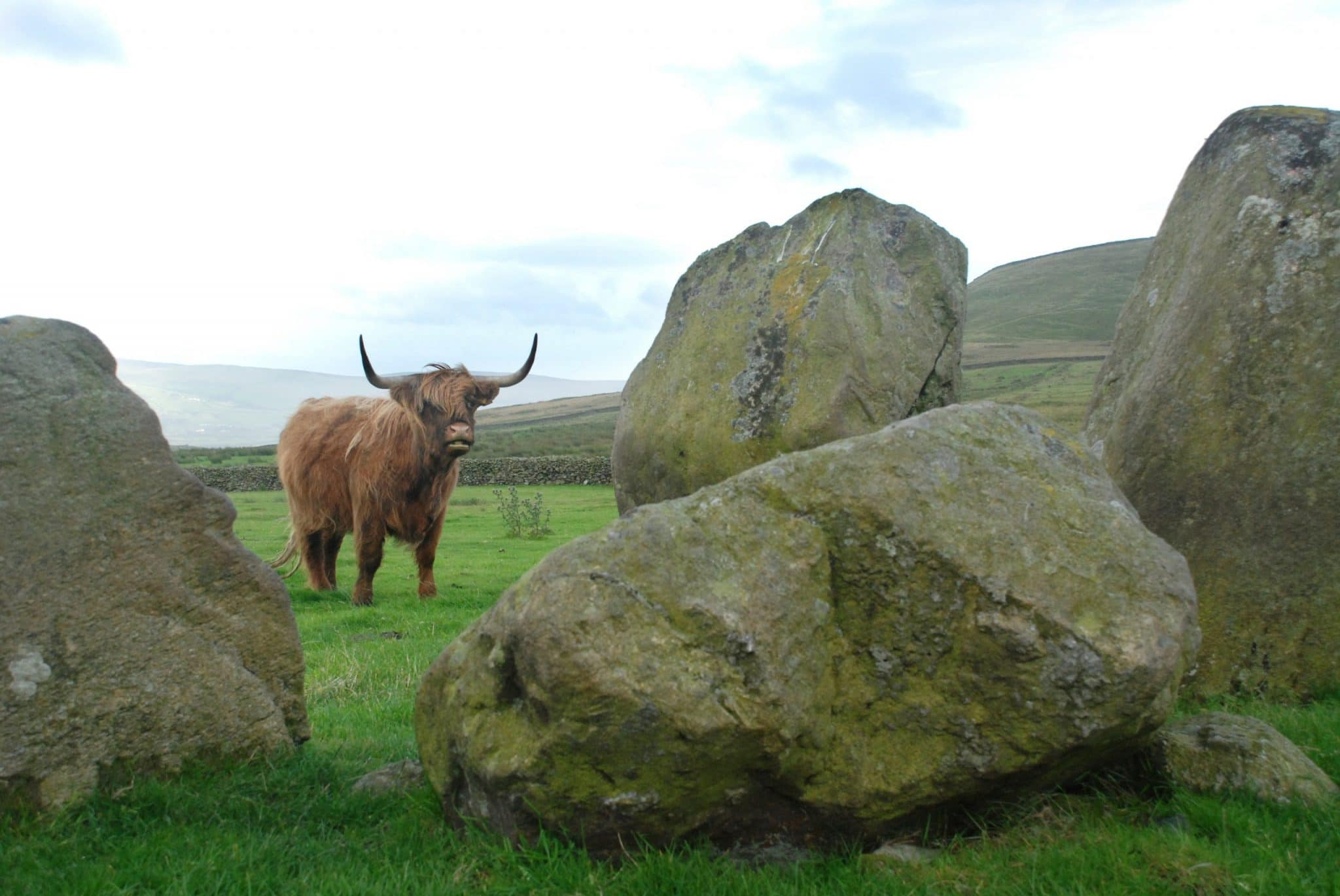 Highlander Scottish Cow At Swinside Stone Circle, Cumbria, Engla
